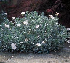 Convolvulus cneorum 'Snow Angel' - Bush Morning glory. White flowers for Moon garden.