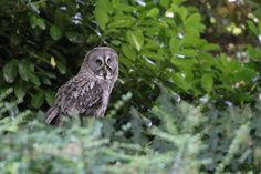 Great Grey Owl by UniquePhotoArts