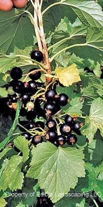 "Consort Black Currant ""will grow and fruit in full shade.""  Not showy flowers.  4-6'."