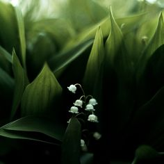 Lily of the Valley are beautiful flowers, and this photograph captures such a silent quality to it that I adore.