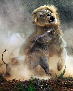 Lion attacks warthog in African game park – in pictures