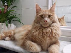 Maine coon boy Sole, cream tabby and fantastic cat.