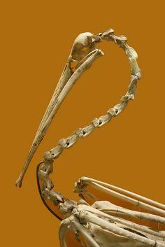 Bird Skeleton by msjennywu Skeleton Anatomy, Skeleton Bones, Skull And Bones, Skeleton Dance, Skull Reference, Photo Reference, Animal Skeletons, Animal Skulls, Bird Skull