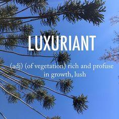 Luxuriant |lʌɡˈʒʊərɪənt, lʌɡˈzjʊərɪənt, lʌkˈsjʊərɪənt| mid 16th century origin from Latin luxuriant- 'growing rankly', from the verb luxuriare, from luxuria 'luxury, rankness' . . #beautifulwords #wordoftheday #Luxuriant #trees #crazytrees #california #lush #profuse #growth #chezpanisse #berkley #mindofitsown