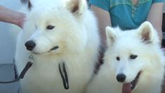 South Sioux City prepares for National Samoyed Dog Show