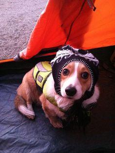 Corgis make great hat warmers.