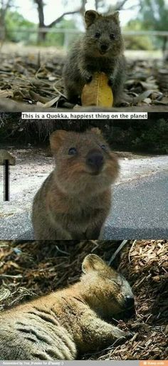 Quokka - The happiest animal in the world! So cute!