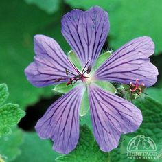 The hardy Cranesbill Geraniums include a number of varieties best suited to the rock garden or for edging, in well-drained sunny sites. This recent selection forms a clump of grey-green leaves, with a pebbly texture.