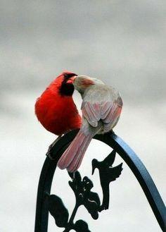 Cardinal couple #backyardbirds #birdwatchingtips