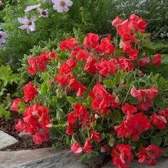 Villa Roma Scarlet sweet pea seeds - Garden Seeds - Flowering Vine Seeds
