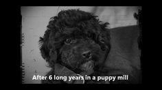 """Watch the cutest dancing dog - eeeeeee! """"Meet Cricket, a 6-year-old rescued puppy mill survivor who just wants a little attention!"""" #HappyHour https://www.facebook.com/video.php?v=373470879478956&set=vb.315667338592644&type=2&theater"""