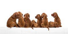 Hungarian Vizsla Fotoarts Pet Photography
