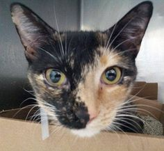 TO BE DESTROYED 1/5/15 *NYC* SWEET KITTY! * Manhattan Center * Beginner Kimie interacts with the Assessor, solicits attention, is easy to handle and tolerates all petting. * My name is KIMIE. My Animal ID # is A1023512. I am a female tortie and white domestic sh mix. I am about 3 YEARS old. OWNER SUR on 12/18/2014 from NY 10468, LLORDPRIVA. Group/Litter #K14-205314.
