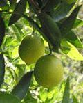 Growing citrus in the Northwest (Al's Garden Center)