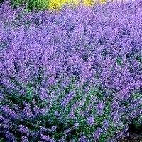 Catmint - back yard in front of forsythia's if the short breed.