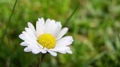 Sedmikrásky zdobí trávníky od jara do pozdního podzimu. Jejich kvítky jsou pastvou nejen pro oči, jsou také jedlé a chutné a přitom zdraví prospěšné. Stačí se jen sehnout a natrhat je.