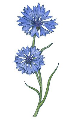 The Cornflowers by Fran Efless, via Behance Botanical Drawings, Botanical Illustration, Botanical Prints, Watercolor Flowers, Watercolor Paintings, Art Sketches, Art Drawings, Button Tattoo, Button Flowers