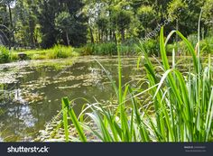 stock-photo-a-picturesque-pond-in-the-green-summer-forest-a-quiet-pond-overgrown-with-weeds-and-tall-grass-a-244049641.jpg (1500×1101)