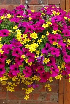 Sizzle Pink Pre-Planted Hanging Basket x1-Petunia 'Summer Ray Purple' and Bidens 'Yellow Charm'
