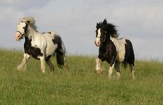 Irish Cob Horses in the pasture