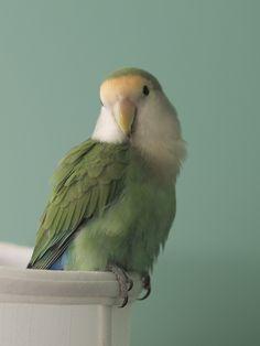 Peachfaced lovebird- looks like mine!