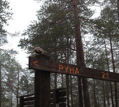 Siberian Jay in the Pyhä-Luosto national Park Isokuru