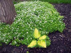 Gaillet odorant et hostas pour décorer l'espace sous les arbres dans le jardin ou les jardinets à l'ombre