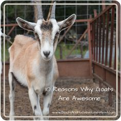 Why Every Homestead Needs Goats..10 Reason Why Goats Are Awesome.