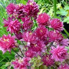 Touchwood Aquilegia seedet liste - Arter og navngitte sorter