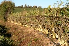 classic British Hedgelaying, a living fence that works for livestock