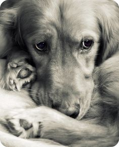 LOVE! wah! I need a golden retriever!