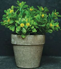 Jade Plant with yellow flowers. a succulent normally with small pink or white flowers native to South Africa, common as a house plant or first bonsai.
