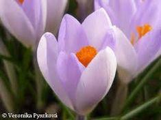 Výsledek obrázku pro jarni kytky Lily, Plants, Orchids, Plant, Lilies, Planets