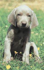 Training Your Weimaraner Dog