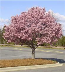 Shumard Red Oak Tree Mature Height 50 39 60 39 Fall