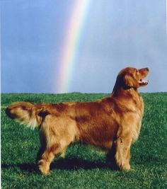 Am-Can Ch Vanreels Rainbow Over Osprey OS Can WC Golden Retriever