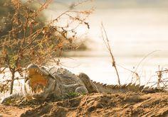 Mvuu Lodge:Crocodile
