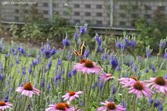 Sunny Border Blue Speedwell... a perennial with a really long blooming season with Echinacea coneflower.