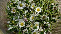 Reichlich 2 Handvoll Gänseblümchen (Blüten mit Stiel) braucht man für dieses Gänseblümchensirup Rezept.