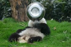 I eat all the food,panda