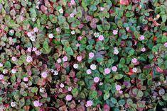 """写真は、街中ではびこっているのをよく見かけるヒメツルソバです。 野生化してどんどん広がる生育旺盛な植物ですが、増えすぎれば抜き取ってなくすこともできます。でも、これからご紹介する5つの植物は、抜いても抜いてもどこからか生えてくる""""地下茎(ちかけい)""""で広がる困った植物です。地下茎で増えるとは、地面の中で根を横に広げながら伸びていくという意味。その根はどこまで伸びているか目で確認ができないため、思いがけないところから芽を出します。また、地面を掘り起こして根をすべて除去できたと思っていても、5㎜でも地中に根が残っていたら再び芽を出すという生命力を持っています。 ガーデンに一度植えたらどんどん増殖!? はびこって困る5つの植物 - GardenStory (ガーデンストーリー) Garden Inspiration, Fruit, Green, Nature, Plants, Gardening, Google, House, Products"""