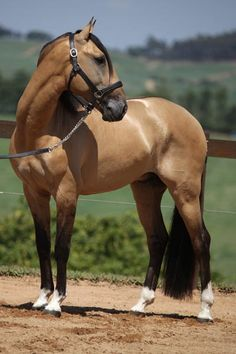 Lusitano gelding Chaos Interagro - have always loved buckskins! All The Pretty Horses, Beautiful Horses, Animals Beautiful, Cute Animals, Horses And Dogs, Cute Horses, Horse Love, Horse Photos, Horse Pictures