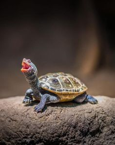 Your big tortoise is a source of pleasure to you. You bought the turtle so you can have more fun with family members and friends. Tortoise Habitat, Baby Tortoise, Tortoise Care, Tortoise Turtle, Sulcata Tortoise, Baby Sea Turtles, Cute Turtles, Pet Turtle, Turtle Love