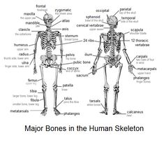 Skeleton Game 1 - Anatomy - Health
