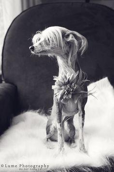 Chinese Crested-Pet-Portrait-Photographer-Oakland-MI-Lumephotography.com