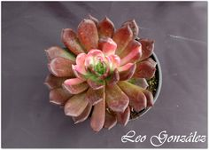 "All sizes | Echeveria ""Chocolate"" variegated 