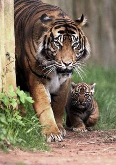 Tigers are so beautiful!  Look how small the baby is.  Go to www.YourTravelVideos.com or just click on photo for home videos and much more on sites like this.