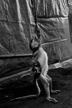 The Masked Monkeys of Indonesia. Almost human... more humane. Please sign the petition. Please don't have pictures taken with animals while on vacation/holiday. These poor animals are tortured and beaten and have terrible lives.