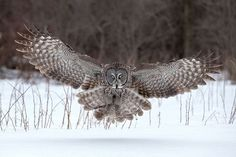 Great Gray Owl, Ontario (Photograph by Tin Sang Chan) Flight Feathers, Bird Feathers, Photography Competitions, Photography Contests, Beautiful Owl, Animals Beautiful, Amazing Photography, Nature Photography, Strix Nebulosa