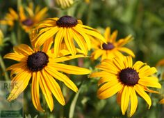 Rudbeckia fulgida var. sullivantii 'Goldsturm', coneflower. Large, golden-yellow, daisy-like flowers up to 12cm (5in) across with cone-shaped, blackish-brown centres from August to October. This award-winning black-eyed Susan looks great planted in bold drifts with other late summer-flowering perennials and ornamental grasses. Coping well in a sunny spot, it's ideal for the middle of a border that doesn't dry out over summer.